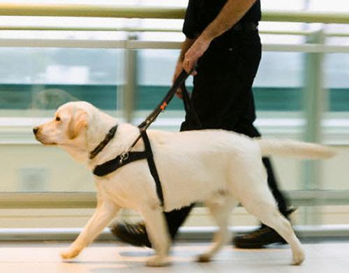 Cão guia para cegos, o que é e como conseguir. 1