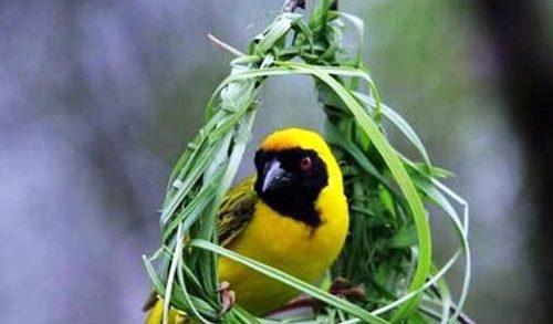 Aves em Ninho