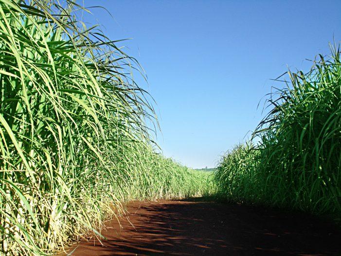 Fertilizante Protegido Beneficia Cana-de-Açúcar