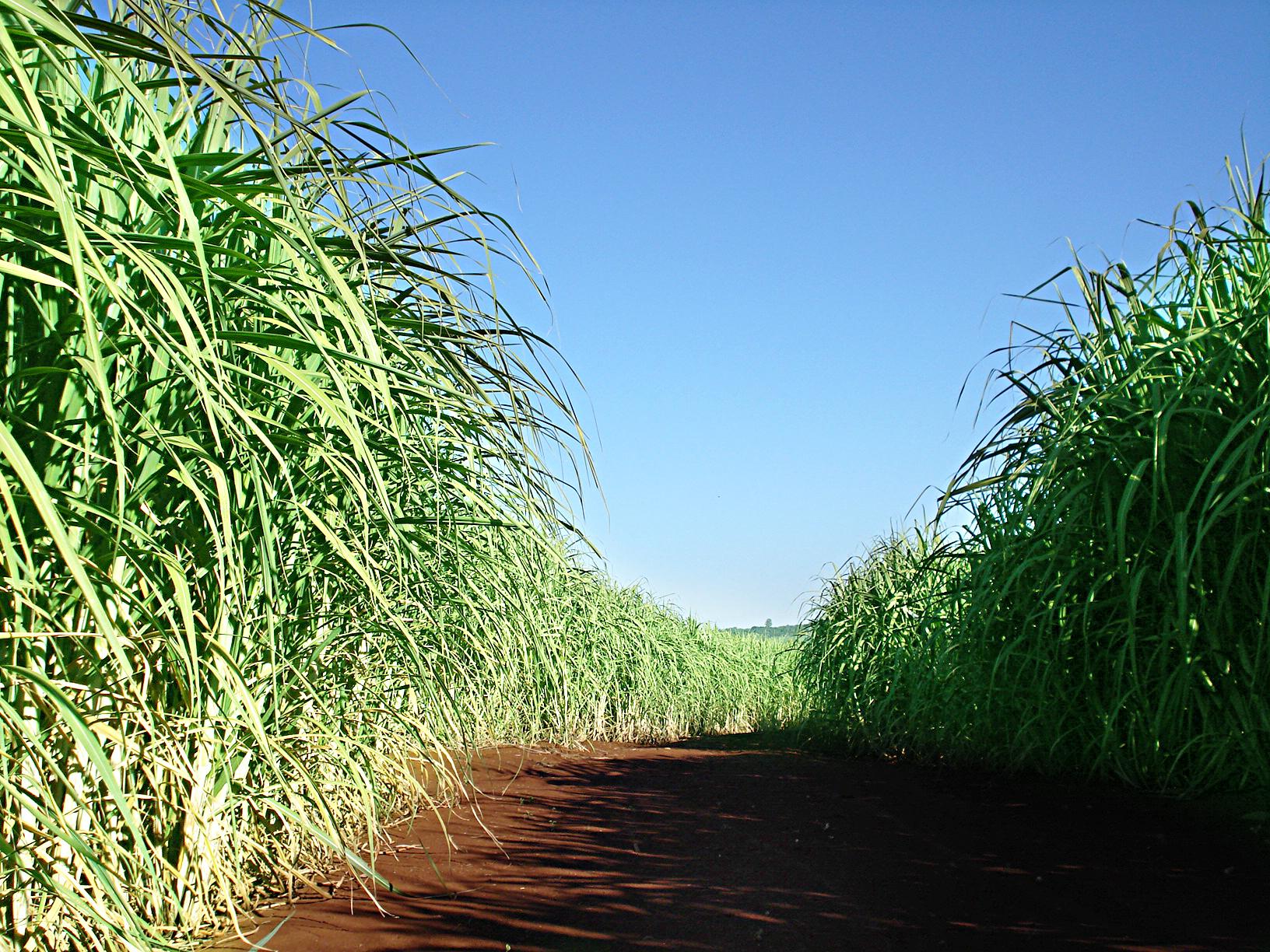 A nutrição das plantas deve estar presente numa boa receita de produtividade dos produtores de cana-de-açúcar