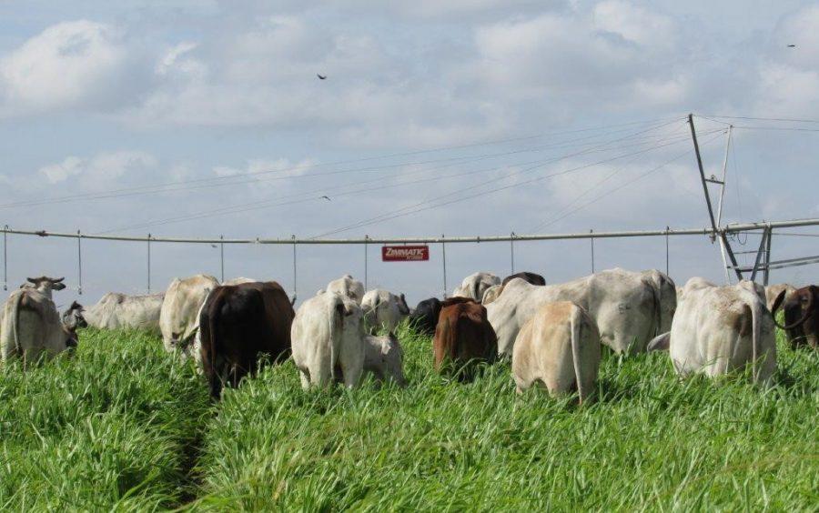 Fazenda aumenta produtividade na pecuária com auxílio da irrigação 2
